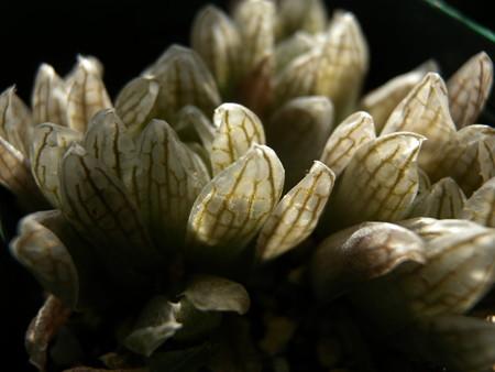 H. cymbiformis v. transiens