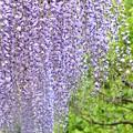 写真: 紫の降雨