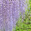 Photos: 紫の降雨