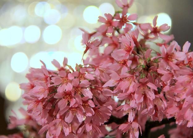 桜@盆栽。