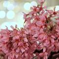 Photos: 桜@盆栽。