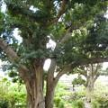 やまももの木1