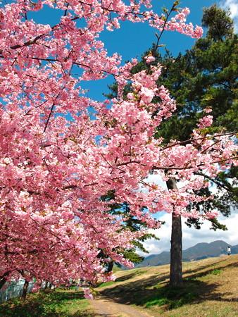 美和桜2014-2