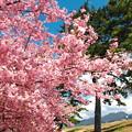 写真: 美和桜2014-2