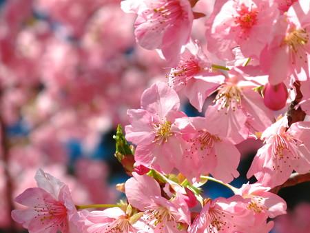 美和桜2014-1