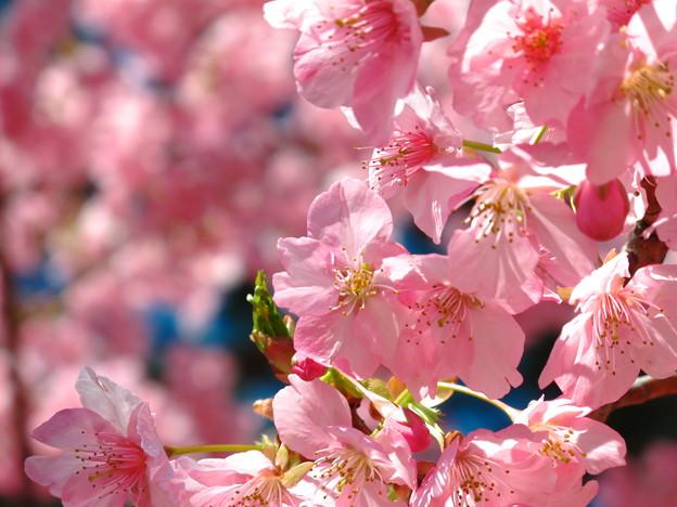写真: 美和桜2014-1