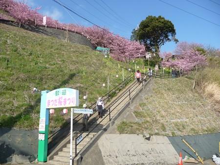 130311-松田山 河津桜 (3)
