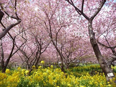 130311-松田山 河津桜 (15)
