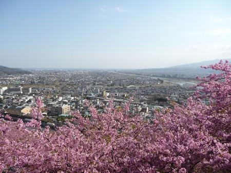 130311-松田山 河津桜 (65)