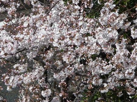 130321-桜 (2)