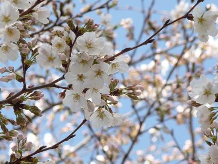 130321-桜 (7)