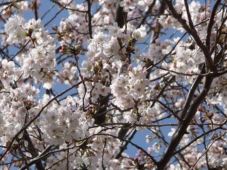 130321-桜 (10)