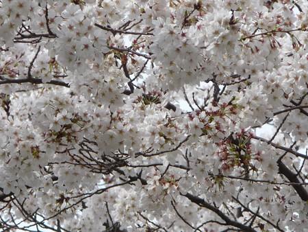 130326-桜 (5)