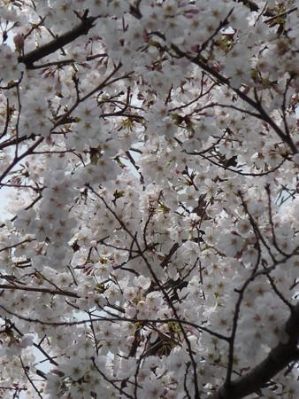 130326-桜 (8)