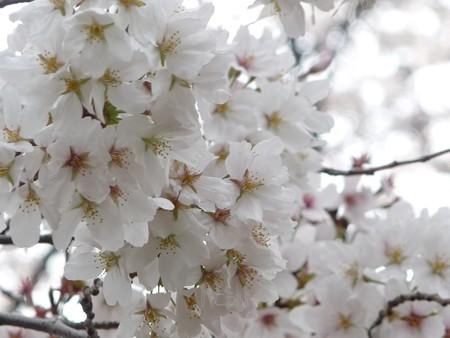 130326-桜 (21)