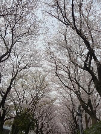 130329-大和 千本桜 (15)