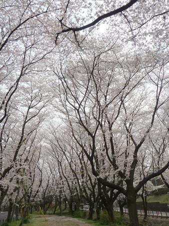 130329-大和 千本桜 (17)