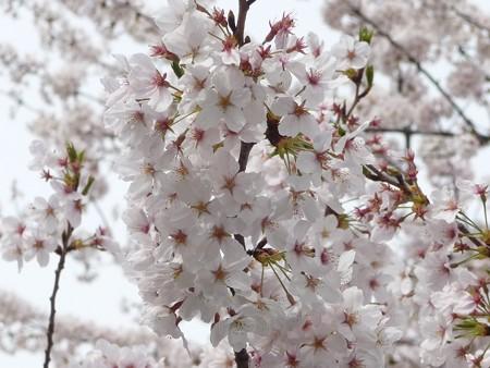 130329-大和 千本桜 (26)