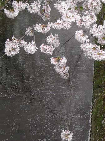 130329-大和 千本桜 (39)