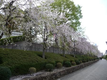 130404-川口の桜 (4)