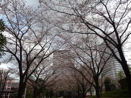 130404-川口の桜 (14)