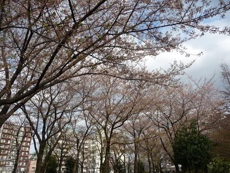 130404-川口の桜 (16)