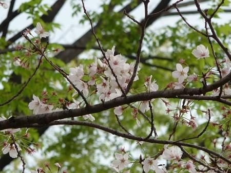 130404-川口の桜 (22)