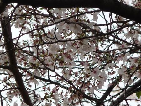 130404-川口の桜 (24)
