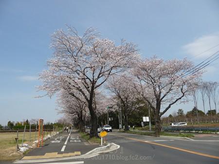 140401-桜 海軍道路 (10)