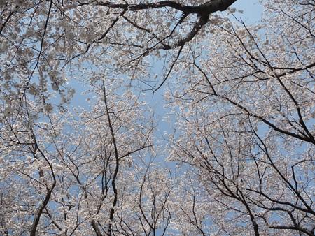 140401-桜 海軍道路 (36)