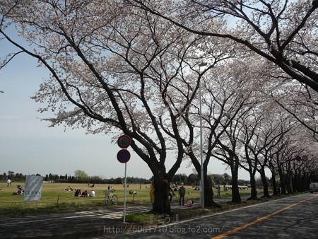 140401-桜 海軍道路 (48)