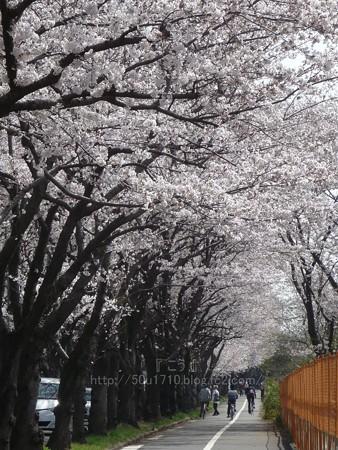 140401-桜 海軍道路 (59)