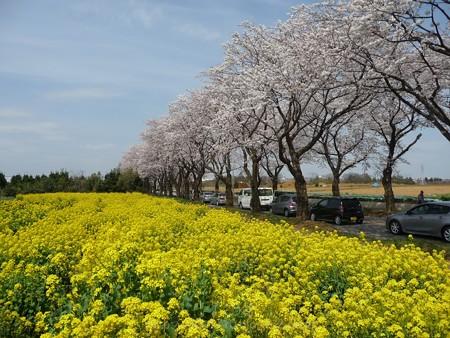 140401-桜 海軍道路 (80)