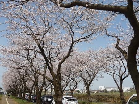 140401-桜 海軍道路 (94)
