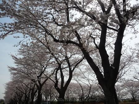 140401-桜 海軍道路 (115)