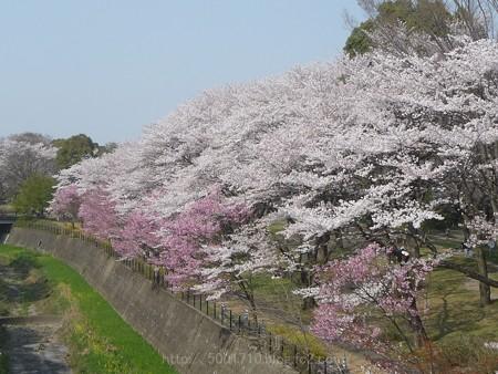 140408-昭和記念公園 (6)