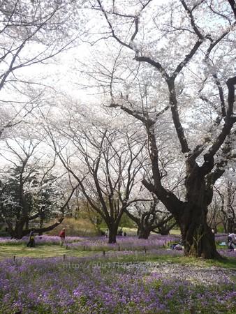 140408-昭和記念公園 (23)