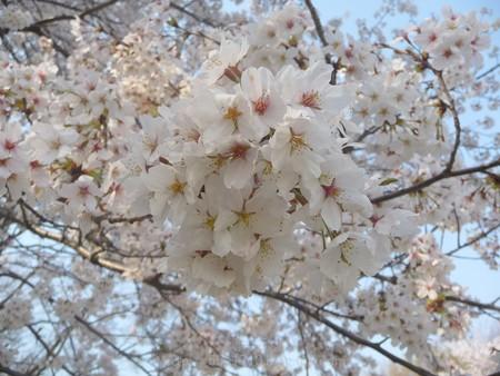 140408-昭和記念公園 (31)