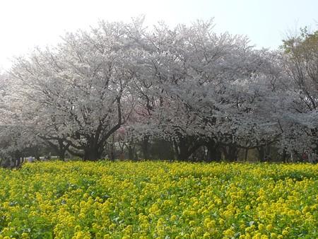 140408-昭和記念公園 (75)