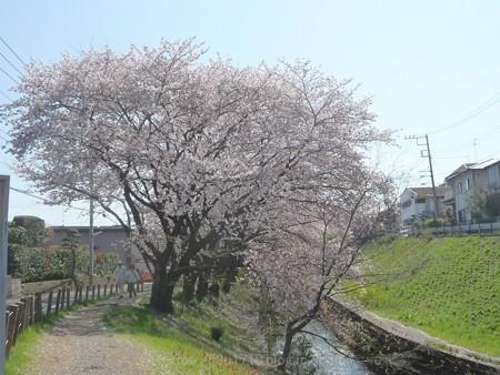 140407-千本桜 (1)