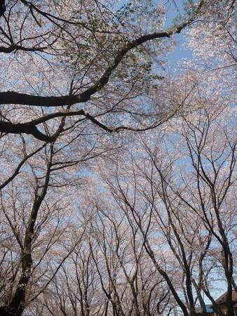 140407-千本桜 (17)