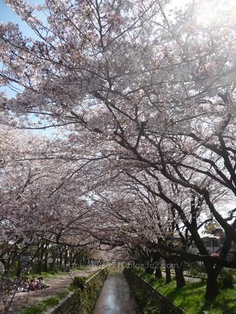 140407-千本桜 (22)