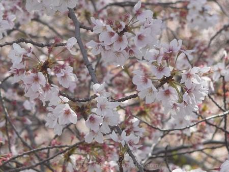 140407-千本桜 (24)