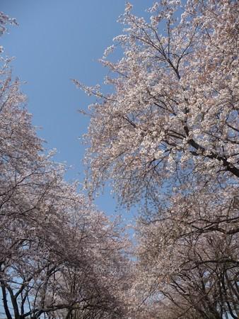 140407-千本桜 (30)