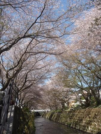 140407-千本桜 (49)