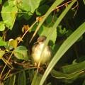 Photos: BarwingedPrinia431signed