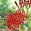 ヒガンバナ蕾と花と