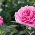 Photos: ネザパレード花と蕾