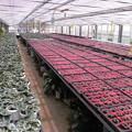 シクラメン栽培農家の7月の様子