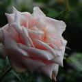 Photos: 咲き進んでも美しいカタリーナ